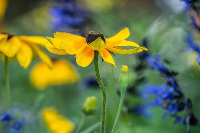Black and Blue Salvia and Daisy - Photo (c) Harold Blum